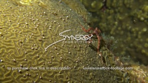 1190 brittle star on spawning coral reef video stock footage
