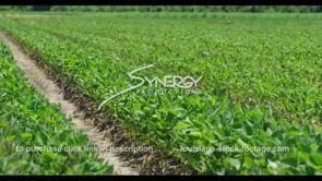 599 Nice soybean field pan left