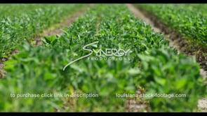 600 American soybean field rack focus