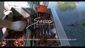633 Nice shot of catching then sorting crawfish for seafood market
