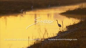 648 large egret bird in golden light of Louisiana swamp