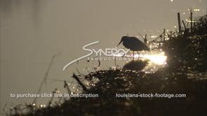 650 White egret feeding in morning sunrise light