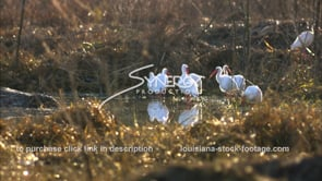 651 group of white ibis birds grooming and feeding stock footage video
