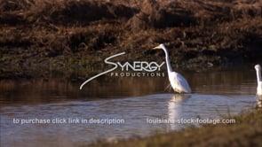 652 three egrets feeding on crawfish stock video footage