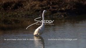 653 Nice shot egret feeding on crawfish close up stock footage video