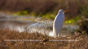 654 profile of egret close up stock footage video