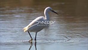 657 White egret walking through shallow water
