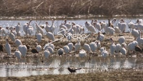 660 large group of white ibis birds grooming stock footage video