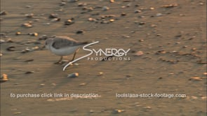663 Sandpiper bird on Louisiana beach