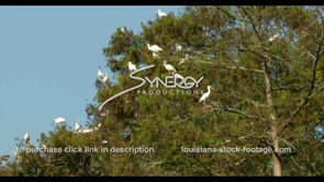 666 nice shot of white ibis birds flying away stock footage video