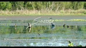 675 blue herring in Louisiana swamp bayou stock footage video