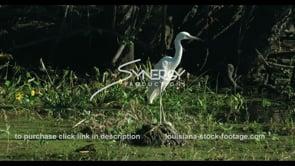 676 large white egret bird Nice CU in swamp