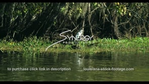677 large white egret bird in swamp stock footage video