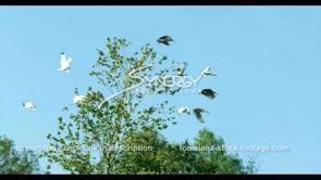 667 Nice shot slow motion white ibis birds fly away