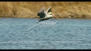 682 Nice shot pelican flying dives for food stock footage video