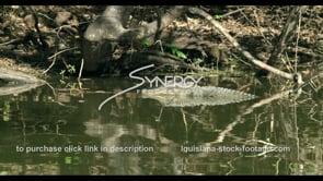 811 alligator dips under water