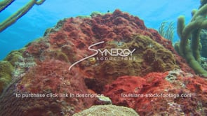961 unhealthy star coral with red algae growing over sewage pollution runoff