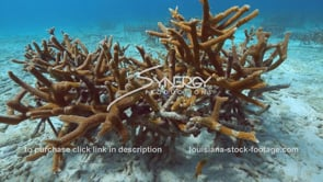 960 staghorn coral growing on coral restoration