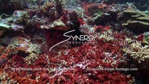 955 red algae growing on dead coral in caribbean