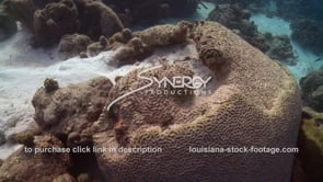 951 unhealthy dying brain coral in caribbean climate change global warming