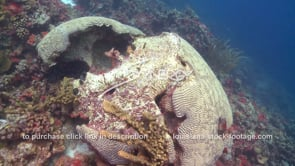 950 unhealthy dying brain coral stock video footage on caribbean reef climate change