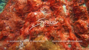 947 red algae growing on coral from sewage runoff