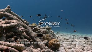 942 fish over dead coral reef video footage