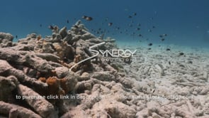 923 pile of dead coral with caribbean tropical fish swimming