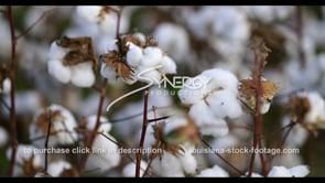 908 cotton field CU