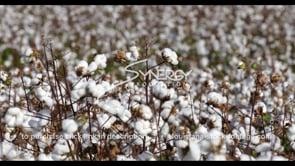 896 tilt to cotton growing