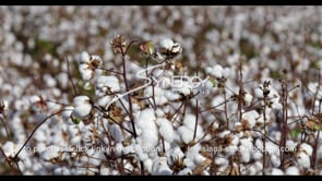 897 American cotton world trade import export commodity