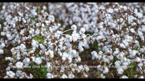 903 cotton growing stock footage video