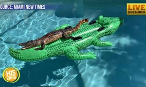 Alligator Found Relaxing on Alligator Pool Float in Airbnb Pool
