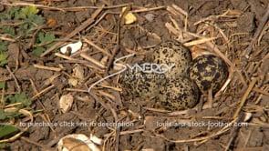 1321 quail eggs in nest before epic flood gates opens