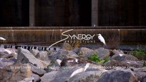 1329 egret near Morganza spillway before flood gates open