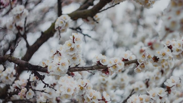 Apricots in Bloom