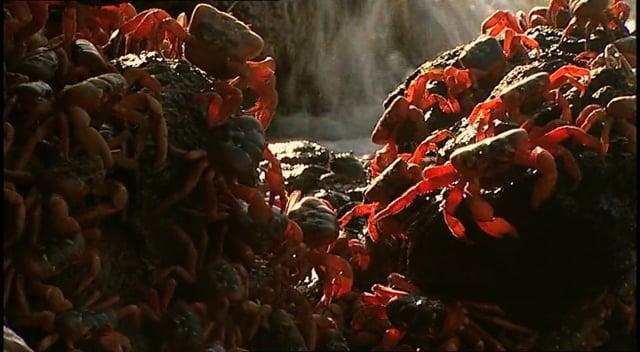 Red Crab, Crazy Ant