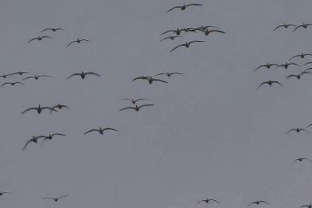 Snow Goose Hunt
