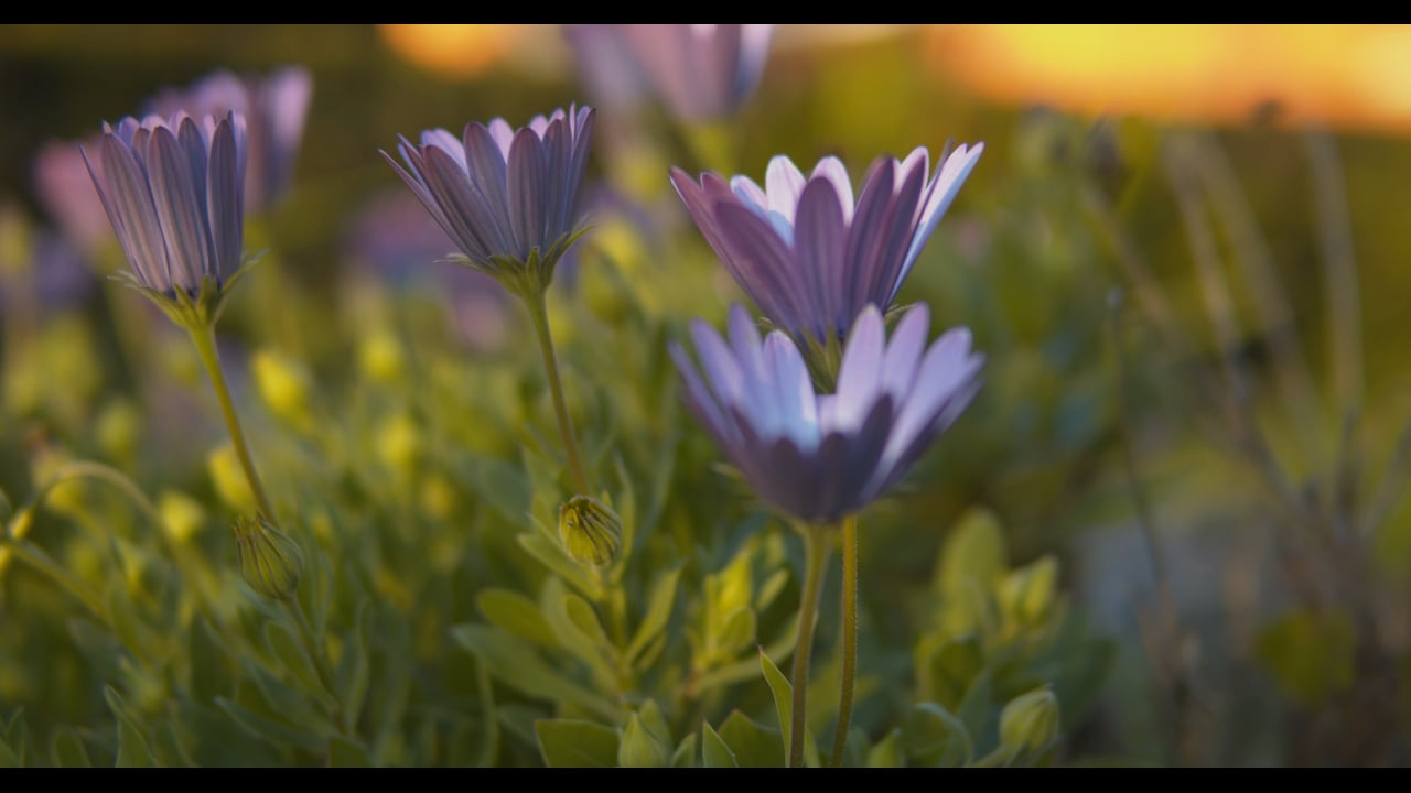 The purple flowers in the sunset Part 2