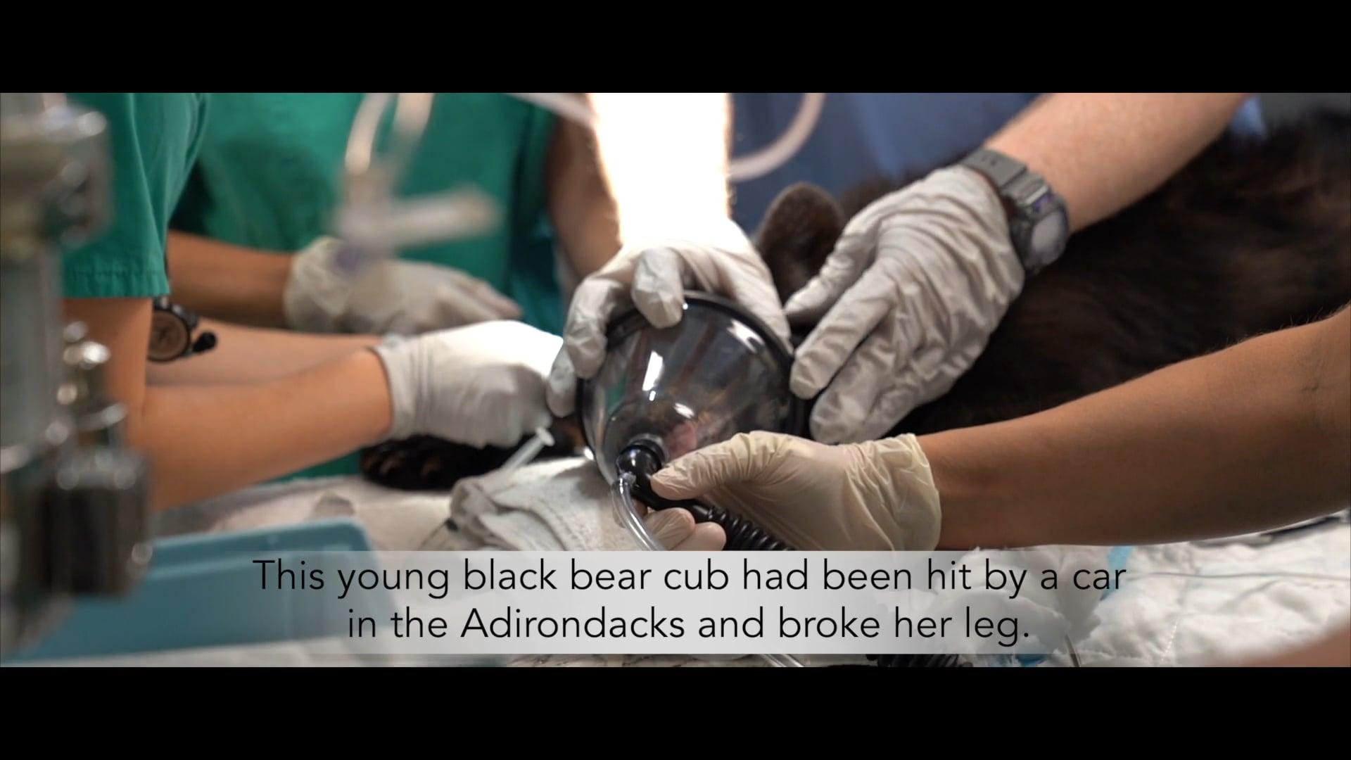 BEAR CUB SURGERY AT CORNELL WILDLIFE CLINIC