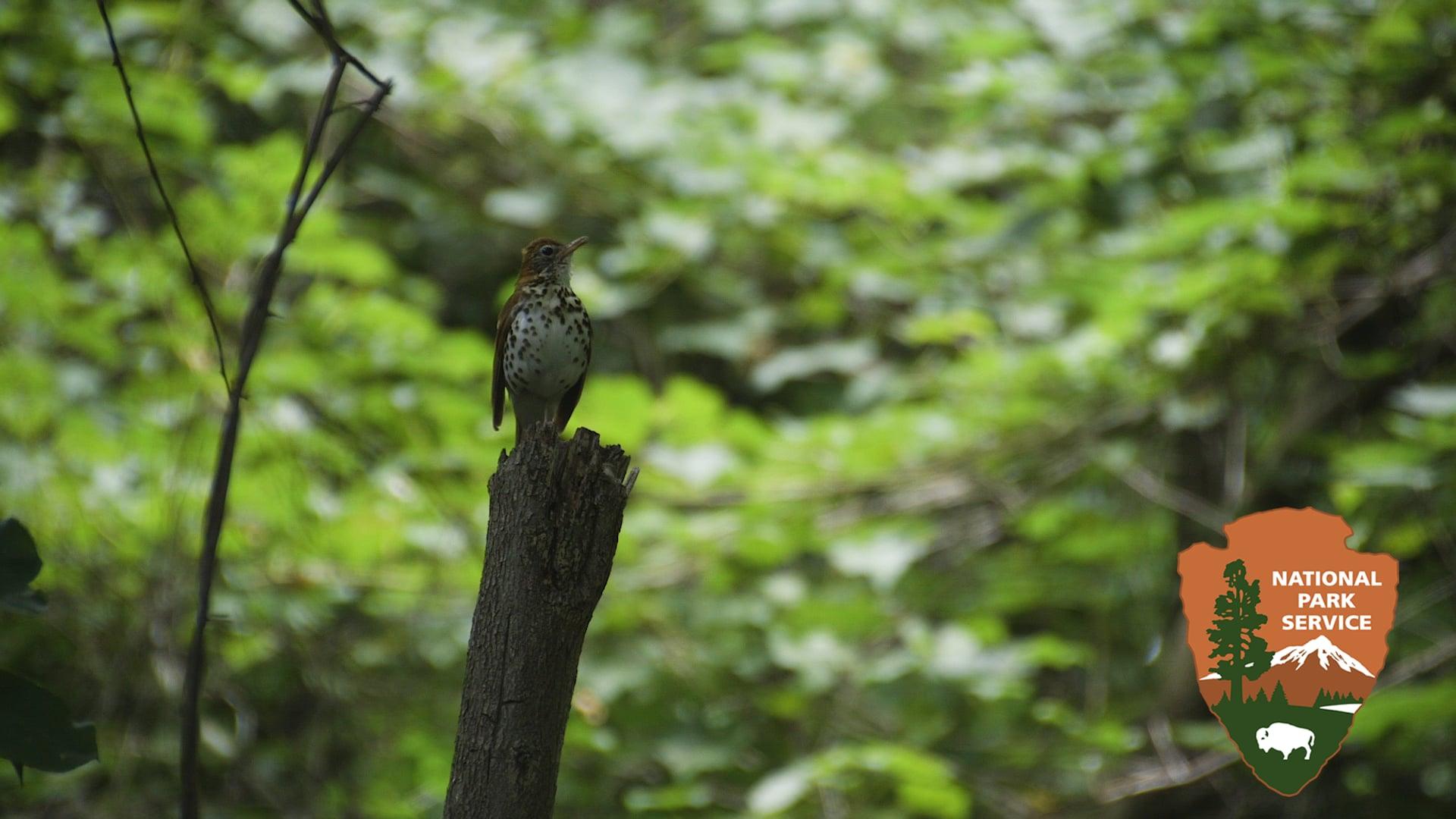 The Wood Thrush: D.C.'s Bird Under Threat