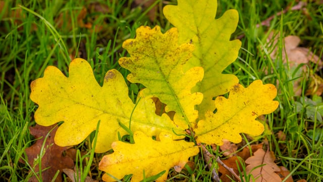 Autumn Leaves in 4K