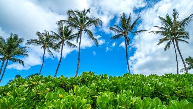 Sunny Palm Trees, Maui Hawaii