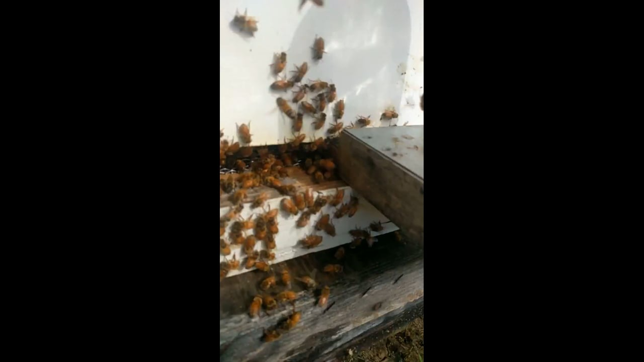 Gentle Honeybees