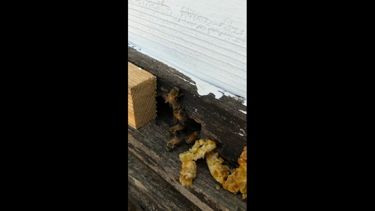 Hive 1 honeybees enjoy gift of leftover beeswax for comb renewal