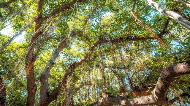 Lahaina Banyan Tree - Hawaiian Forest