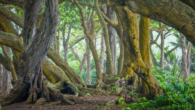 Tropical Rainforest - Oahu Island, Hawaii. Part 1- HDR 10 bit
