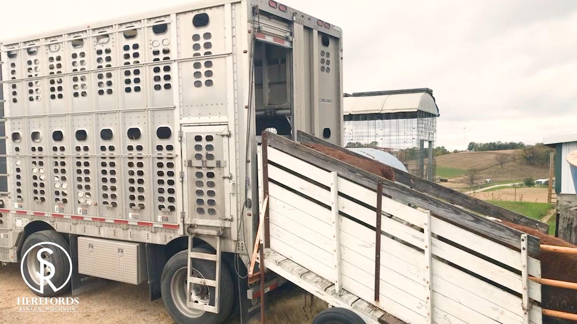 SandRock Ranch Herefords - Fat Cattle Program