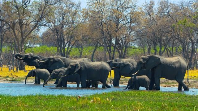 4K African Wildlife: Elephants Part #1 - 4K 10-bit Color
