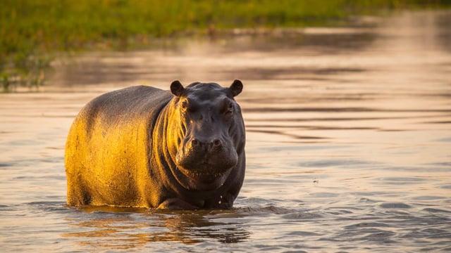 Rhinoceros & Hippopotamuses